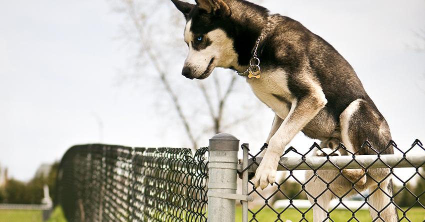 pies ucieka przez ogrodzenie